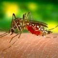Dengue - Aedes Aegypti