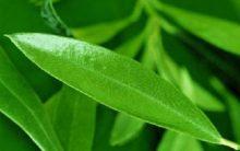 Chá de Oliveira para Emagrecer com Saúde